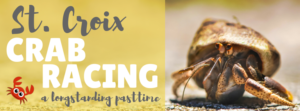 The Thrill of Crab Racing in St. Croix